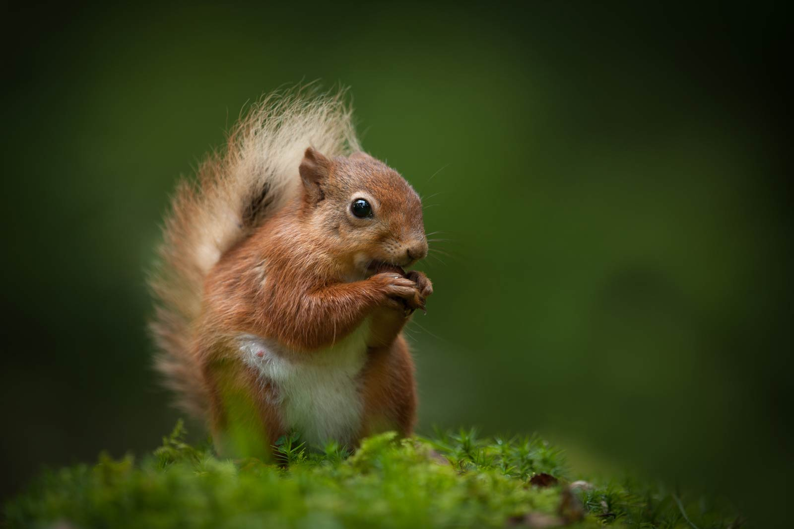 Red squirrel in the Lake District